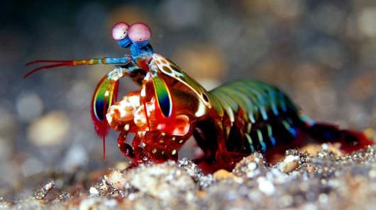 mantis shrimp extreme usability